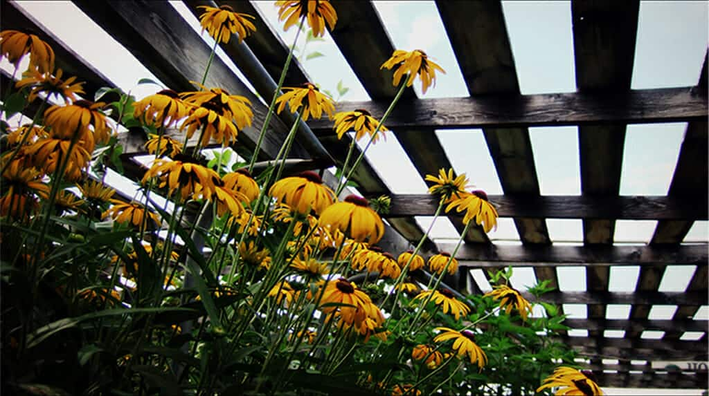 Bloom! Gardens & Nursery -- Get Ready for Spring Gardening - Black Eyed Susans