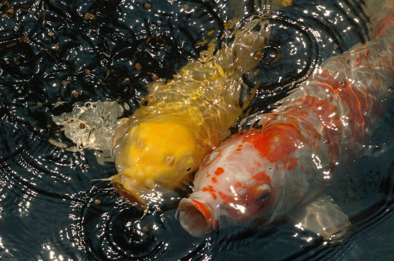 Friendly colorful koi fish
