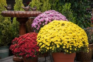 Garden Mums and Hardy Mums are the same